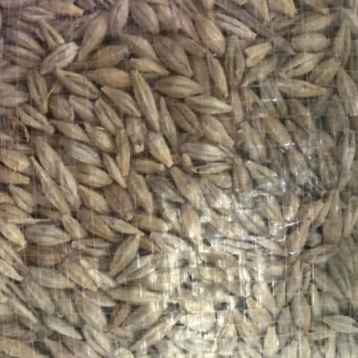 Cebada en grano